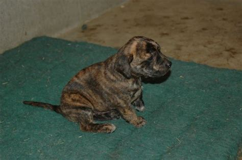 treeing tennessee brindle puppies for sale four weeks tennessee treeing brindle mountain cur puppy puppies