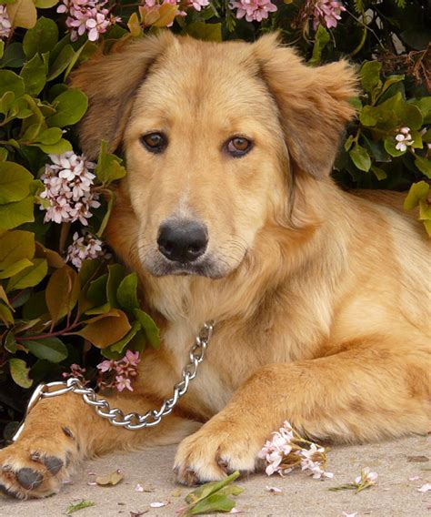 golden retriever collie mix german shepherd golden mix rescue breeds picture