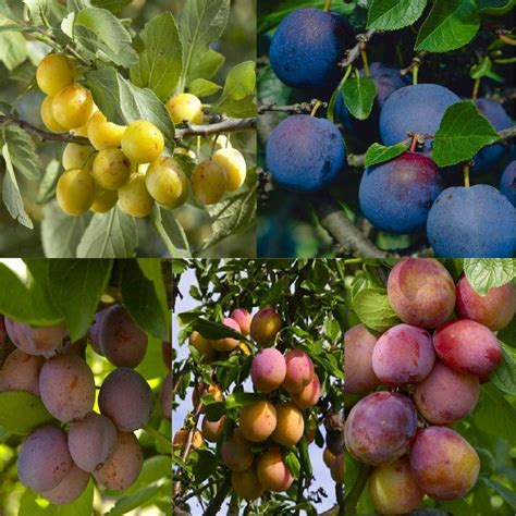 5 fruits in plum tree multi variety fruit tree plum 5 varieties