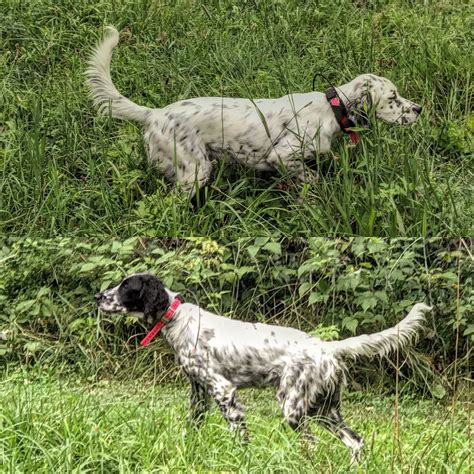 llewellin setter dog breeders llewellin setter puppies for sale paint river llewellins
