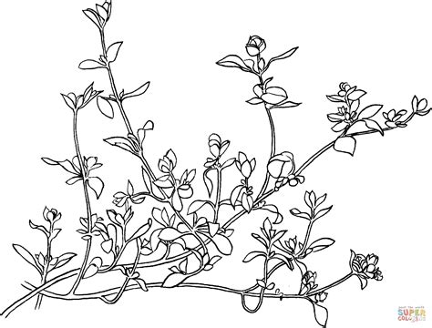 thyme herb coloring coloring pages