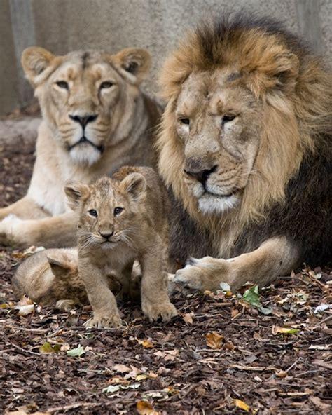 imagenes de leones macho y hembra reproducci 243 n del le 243 n felinos informaci 243 n y caracter 237 sticas
