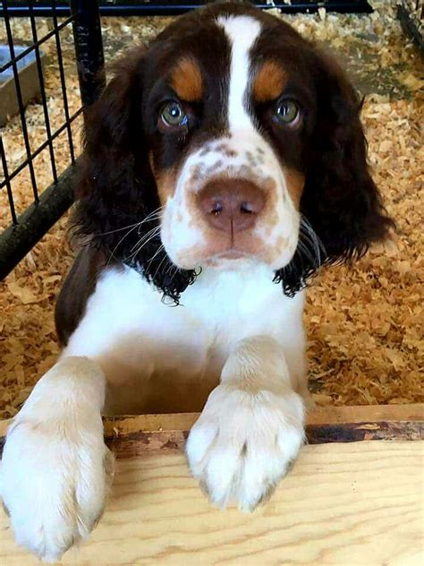 springer puppies best 25 springer spaniel puppies ideas on springer spaniel puppies