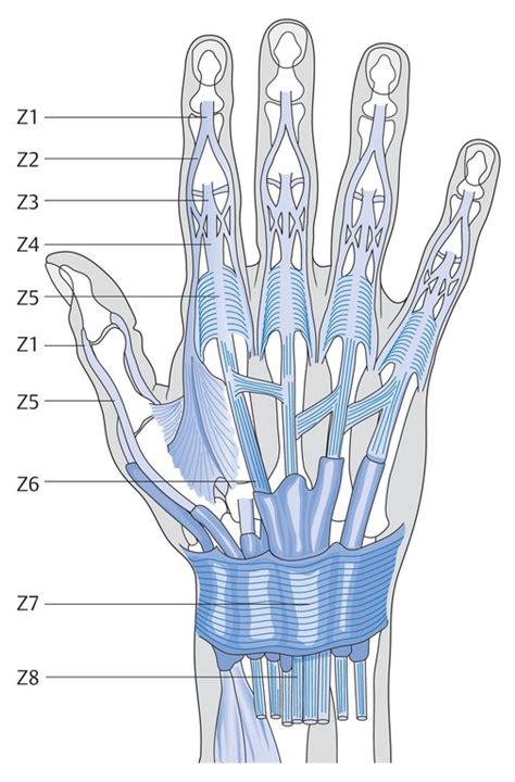 Strecksehnenverletzungen An Der Hand Eref Thieme