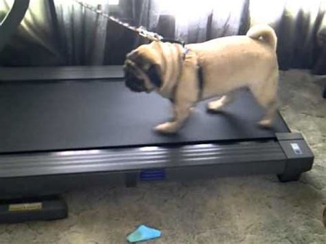 pug on treadmill 1000 images about pug photo vid references on pug pets and fawn pug
