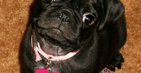 cutest pug in the whole world the cutest pug puppy in the whole world things that make