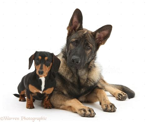 tri color dachshund dogs tricolour dachshund and alsatian photo wp26668