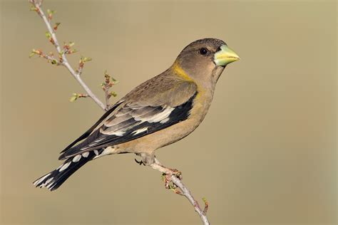 evening grosbeak 5