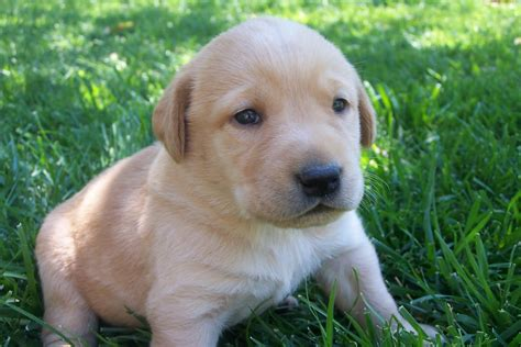 3 week lab puppies beautiful akc lab puppies breeds picture