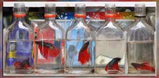 Rak Ikan Cupang prospek budidaya ikan hias cupang di botol budi laksono