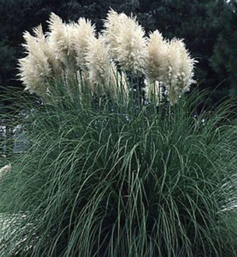 greenleaf nursery  pampas grass  sutherlands