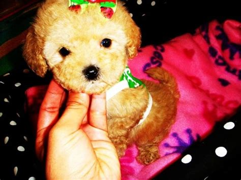 maltipoo puppies houston 61 best images about honey and mitsy on for dogs pink cheetah and puppys