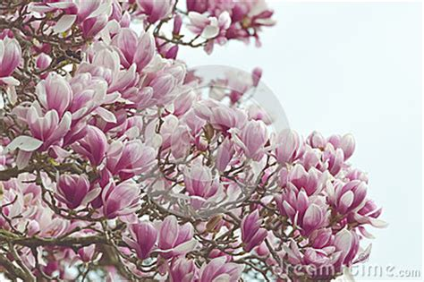 large magnolia tree stock photo image 54432329