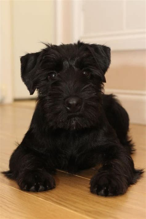 black miniature schnauzer puppies black schnauzer puppies wisbech cambridgeshire pets4homes