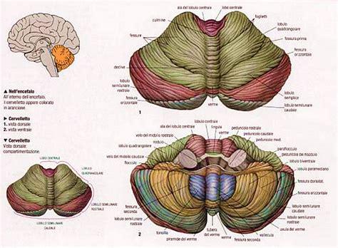 test di anatomia cervelletto anatomia esterna ed interna medicina