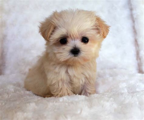 tiny puppy best 25 small dogs ideas on small dogs small puppy breeds and