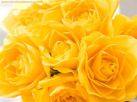 imagenes rosas amarillas el color comunica significado de las rosas amarillas