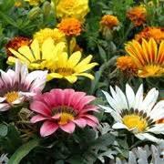 gazania fiore gazania gazania x hybrida gazania x hybrida piante