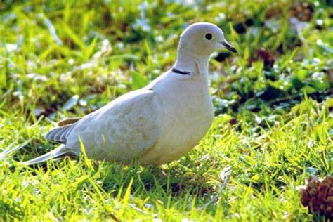 grey dove with black ring around neck birds 1 at college of benedict studyblue