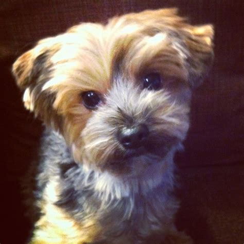 Dog Haircuts Edmonton   1000 images about browni pics yorkie on pinterest
