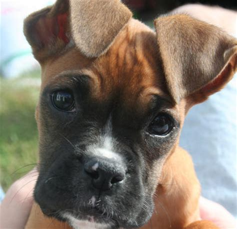 how much to feed a boxer puppy macey the boxer puppies daily puppy