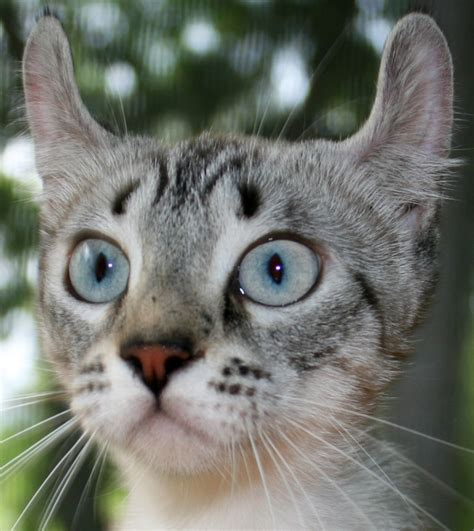 Lynx House Cat by Lynx Domestic Cat Hybrid