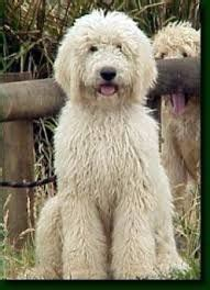 goldendoodle puppy weight gain 17 best ideas about goldendoodle haircuts on