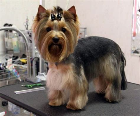 female yorkie haircuts summer cuts female yorkie haircuts furry friend haircuts