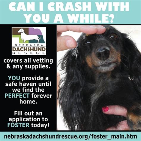 rescue nebraska ne dachshund rescue has 17 new doxies who need fosters pets in omaha