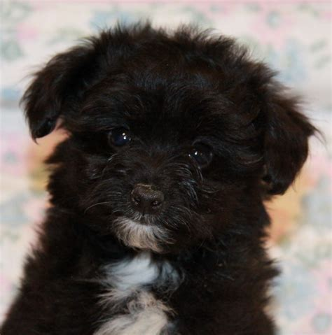 pomeranian poodle mix peek black and white pomeranian poodle puppies for sale dogs for sale in ontario