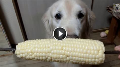 what golden retrievers eat golden retriever corn