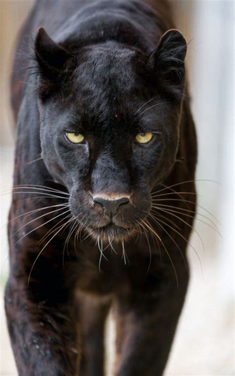 pictures of black jaguars 25 best ideas about black jaguar on black