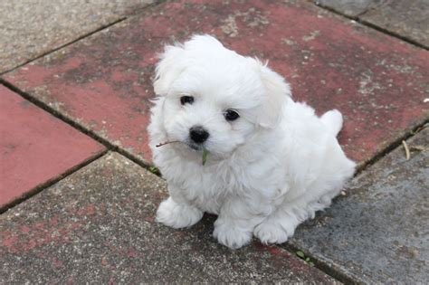 maltese puppies for sale maltese puppies for sale barking essex pets4homes
