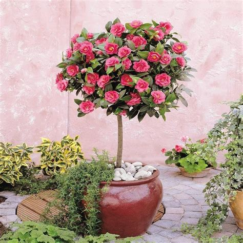 camellia tree standard pink flowering festival