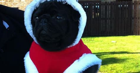 pug asthma attack photo gallery frank the pug still missing four days after being stolen from asda car