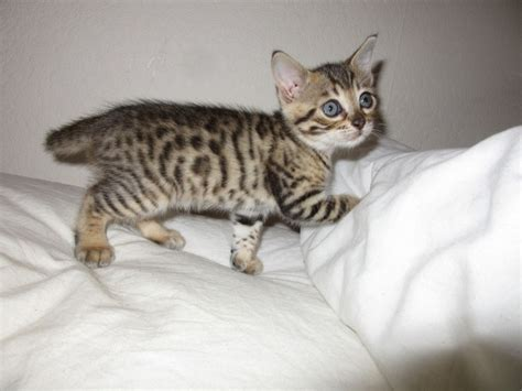 kater kastrieren wann bengal cats south east popular breeds of cats