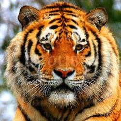 tiger face it s nice time