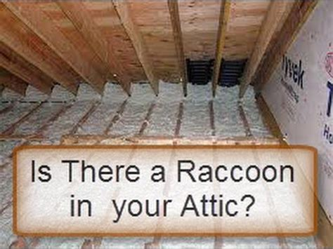 how to get rid of raccoons in my backyard is there a raccoon in your attic here is a test youtube