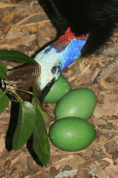 biology amp physiology save the cassowary