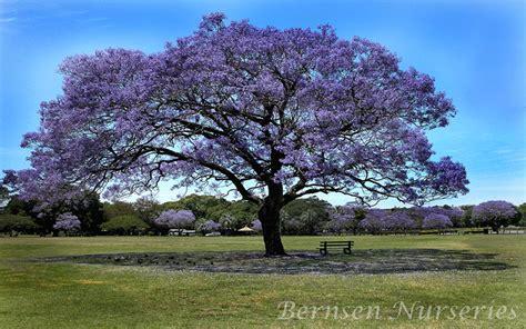 image of tree jacaranda tree naples