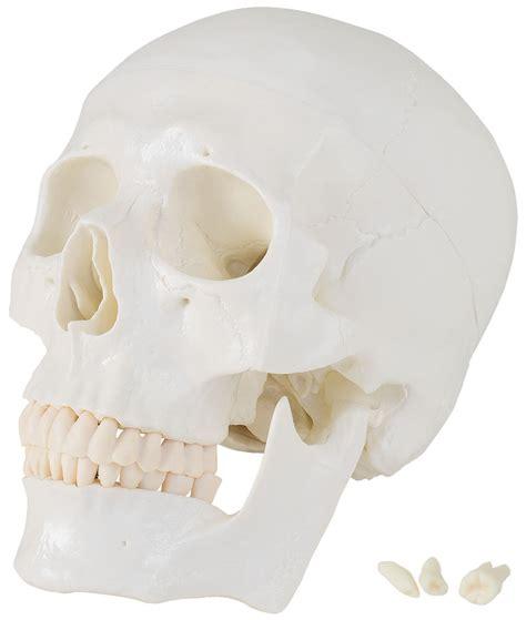 Backenzahn Hocker 174 by Sch 228 Lebensgro 223 Es Anatomiemodell Skelett Anatomie