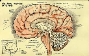 Saggital Section Of Brain by Sagittal Section Flickr Photo