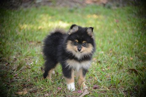 pomeranian colors pomeranian breed 187 information pictures more