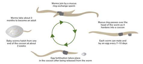 earthworm cycle diagram earthworms cycle