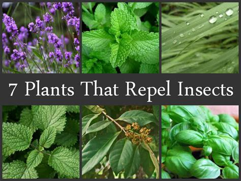 plants that repel insects naturally