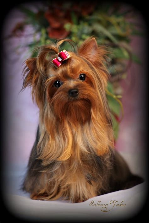 teddy teacup yorkie best 25 yorkie hairstyles ideas on yorkie cuts yorkie cut and welcome to