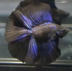 betta fish colors live betta fish quot fins quot black metallic