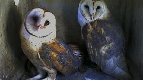 owl channel barn owls web cam animal web cams