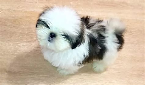 chinese shih tzu dog names  paws
