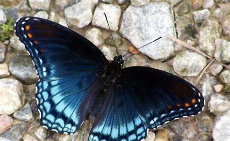 Kupu Hitam gambar kupu kupu cantik warna hitam dunia binatang